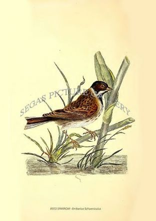 REED SPARROW - Emberiza Schoeniculus